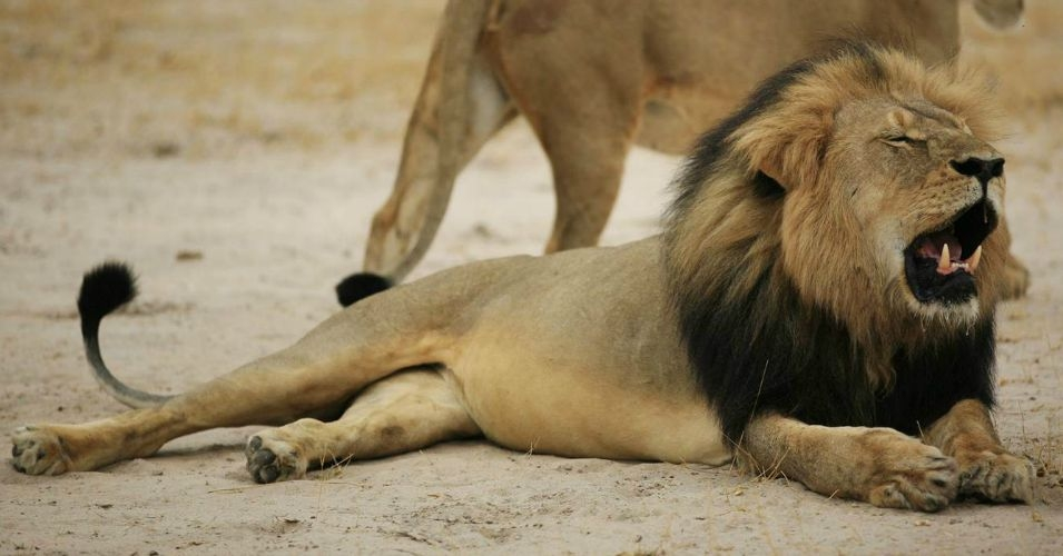 Cecil the lion was 13 years old and known for his dark mane. (Photo: AFP)
